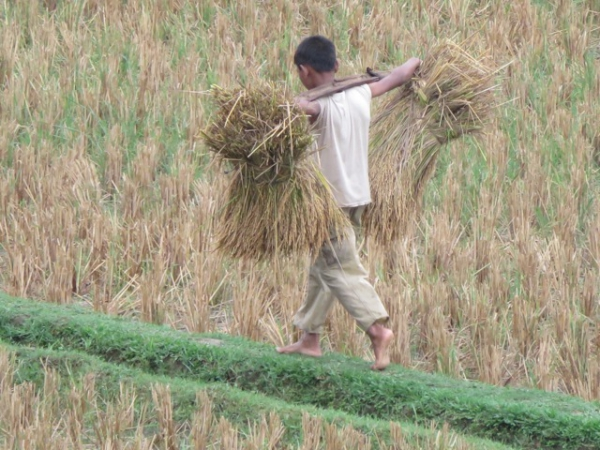 Onderweg met de rijst